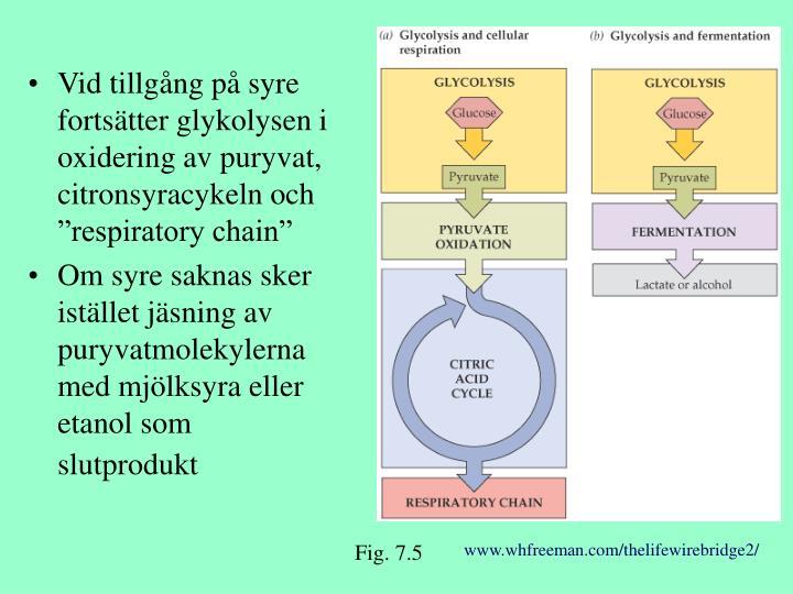 """Vid tillgång på syre fortsätter glykolysen i oxidering av puryvat, citronsyracykeln och """"respiratory chain"""""""