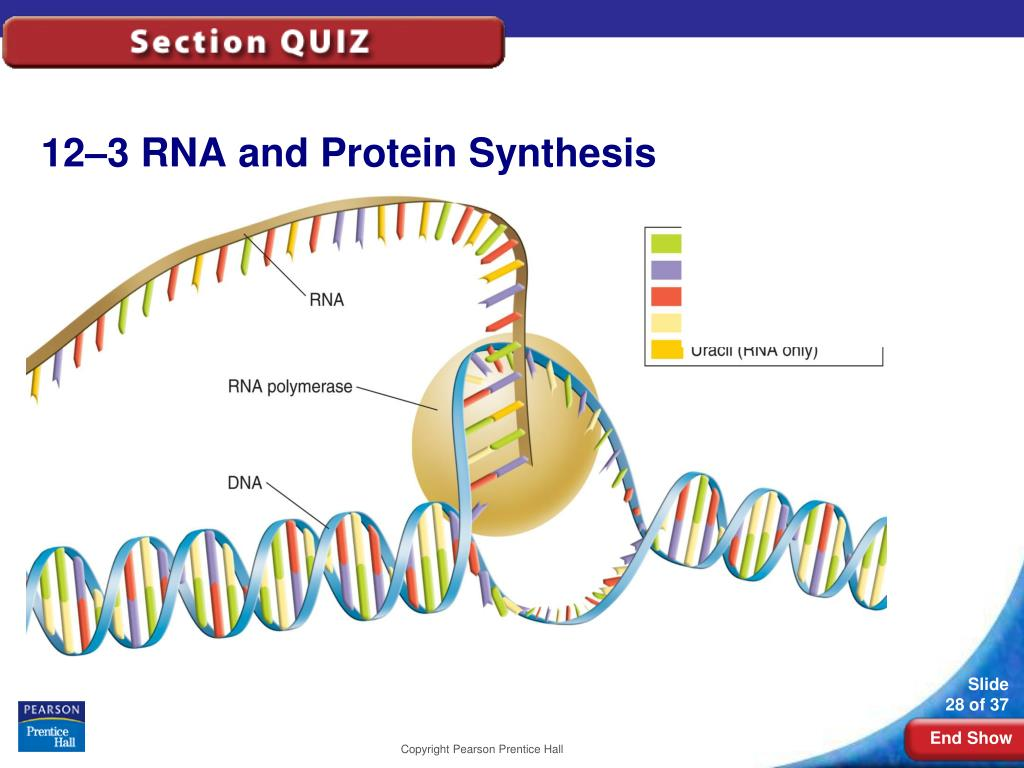 12-3RNA and Protein Synthesis