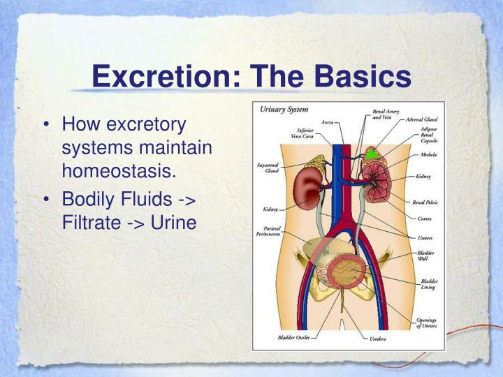 Excretion: The Basics