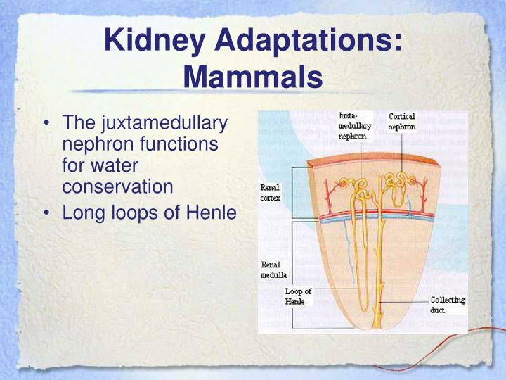 Kidney Adaptations: Mammals