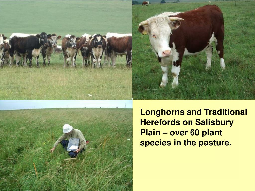 Longhorns and Traditional