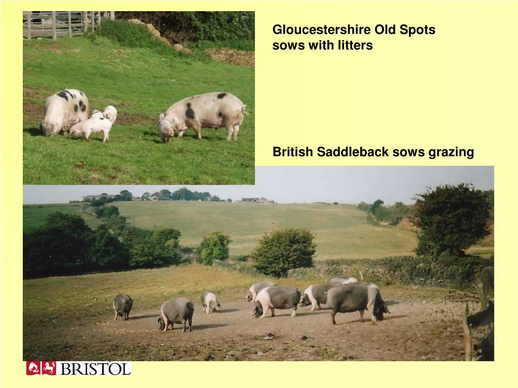 Gloucestershire Old Spots