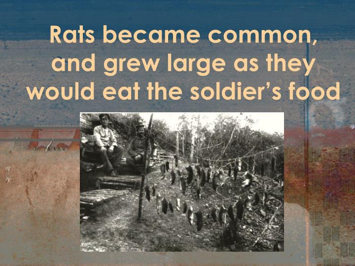 Rats became common, and grew large as they would eat the soldier's food