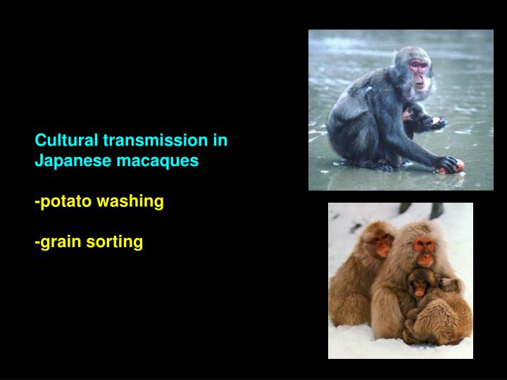 Cultural transmission in Japanese macaques
