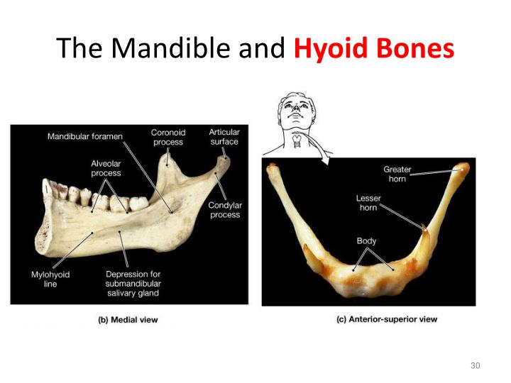The Mandible and