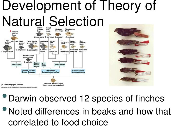 theory of natural selection Theory of natural selection - a process of adaptation, where the strong survive in certain environments and change the balance of populations within a species.