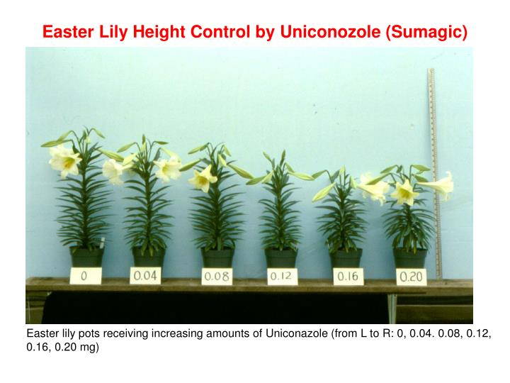 Easter Lily Height Control by
