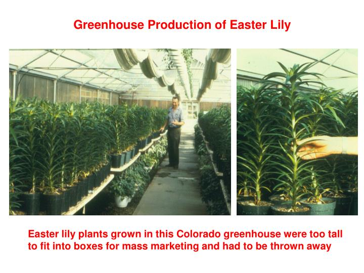 Easter lily plants grown in this Colorado greenhouse were too tall to fit into boxes for mass marketing and had to be thrown away