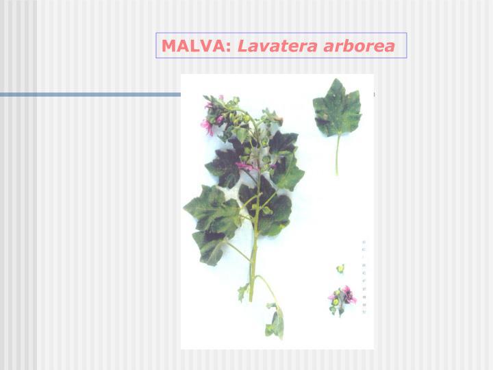 MALVA: