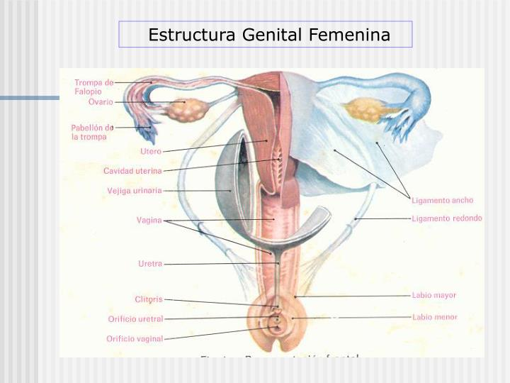 Estructura Genital Femenina