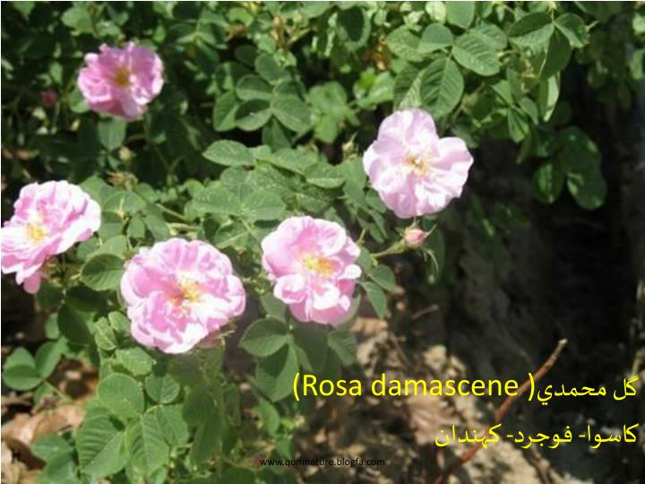 (Rosa damascene )