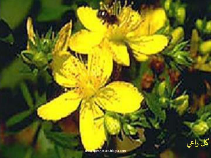 گل راعي