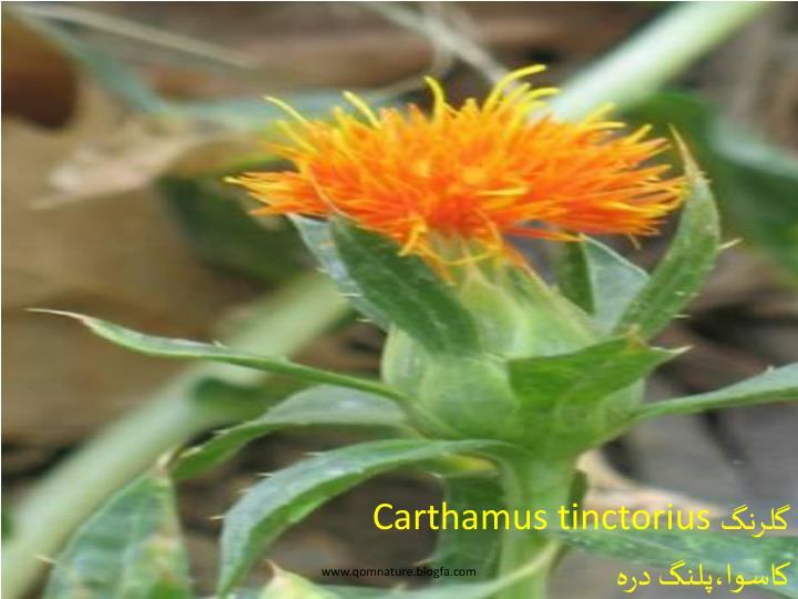 Carthamus