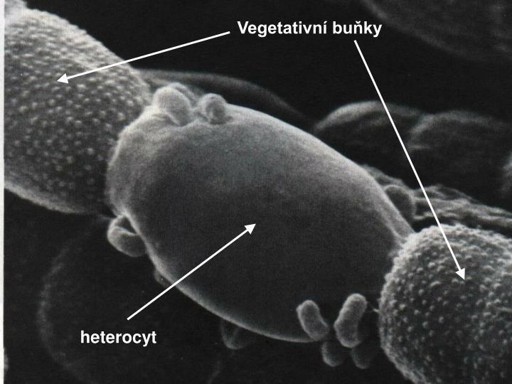 Vegetativní buňky