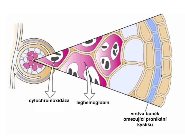 cytochromoxidáza