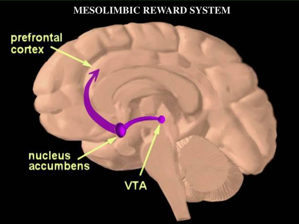 MESOLIMBIC REWARD SYSTEM