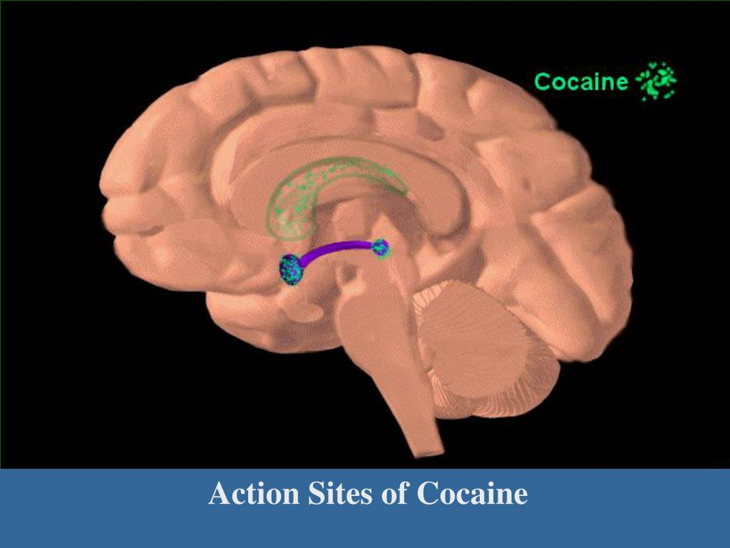Action Sites of Cocaine