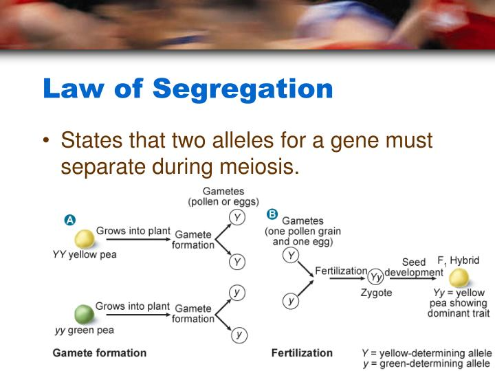 PPT - Chapter 10: Sexual Reproduction and Genetics ...