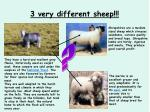 3 very different sheep