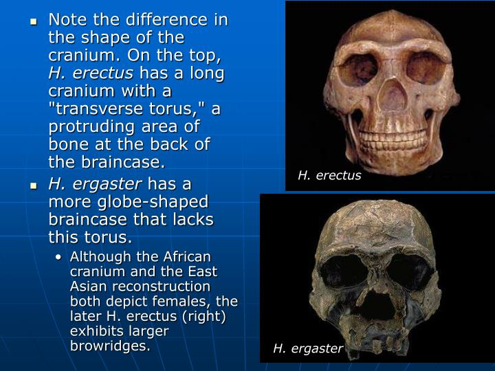 Note the difference in the shape of the cranium. On the top,