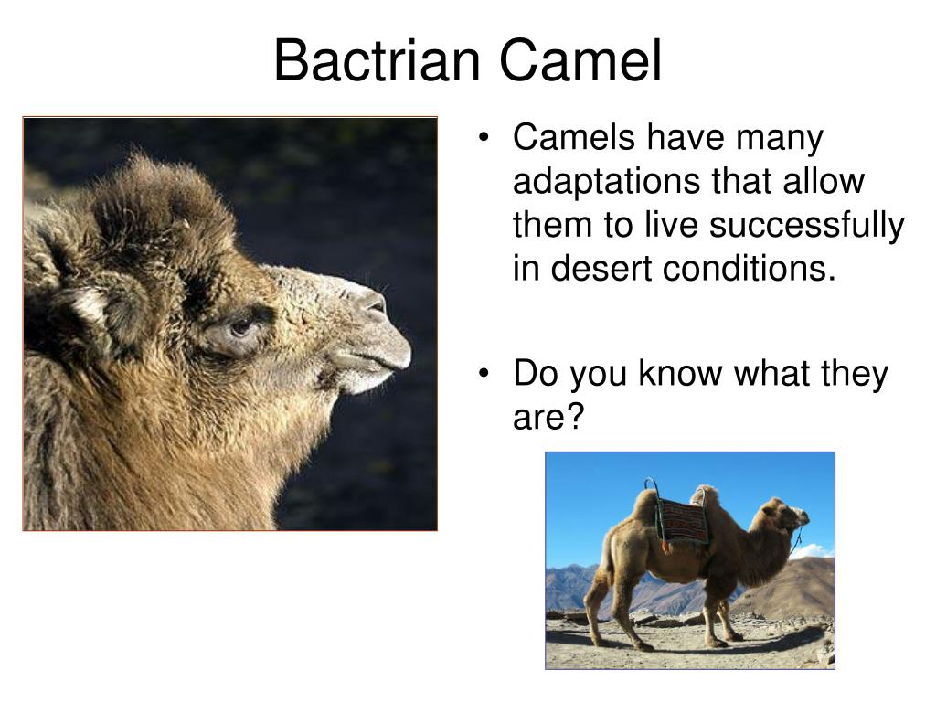 Camels have many adaptations that allow them to live successfully in desert conditions.