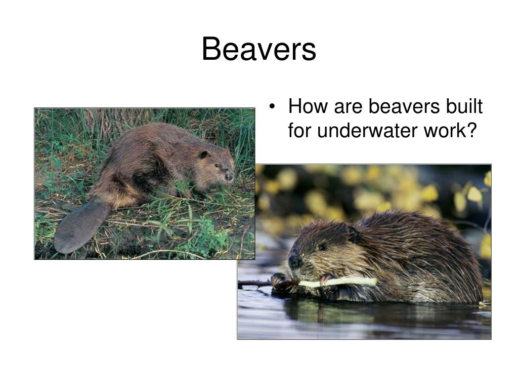 How are beavers built for underwater work?