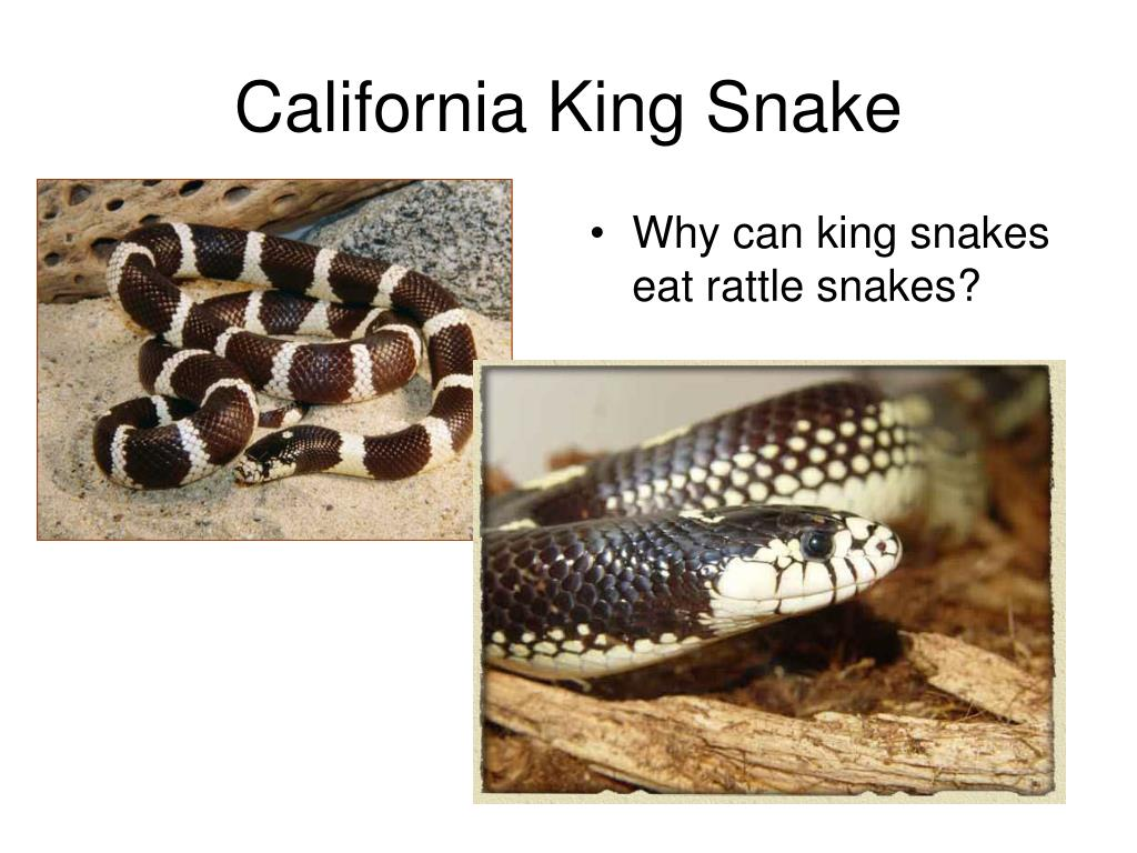 Why can king snakes eat rattle snakes?