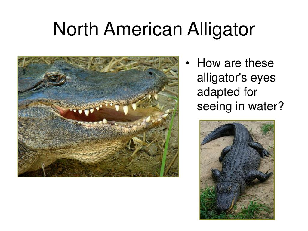 How are these alligator's eyes adapted for seeing in water?