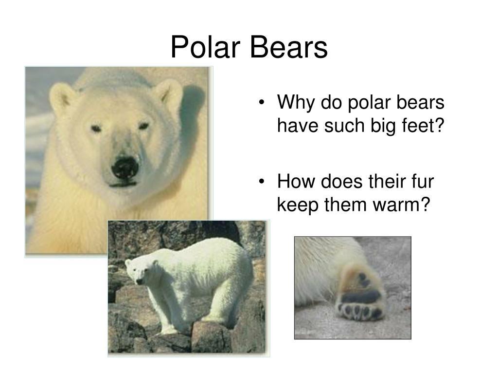 Why do polar bears have such big feet?