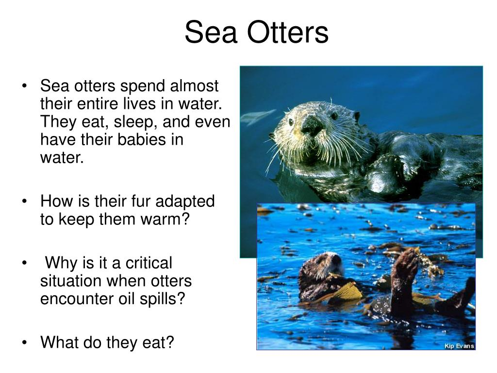 Sea otters spend almost their entire lives in water. They eat, sleep, and even have their babies in water.