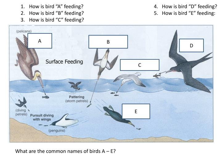 "How is bird ""A"" feeding?				4.   How is bird ""D"" feeding?"