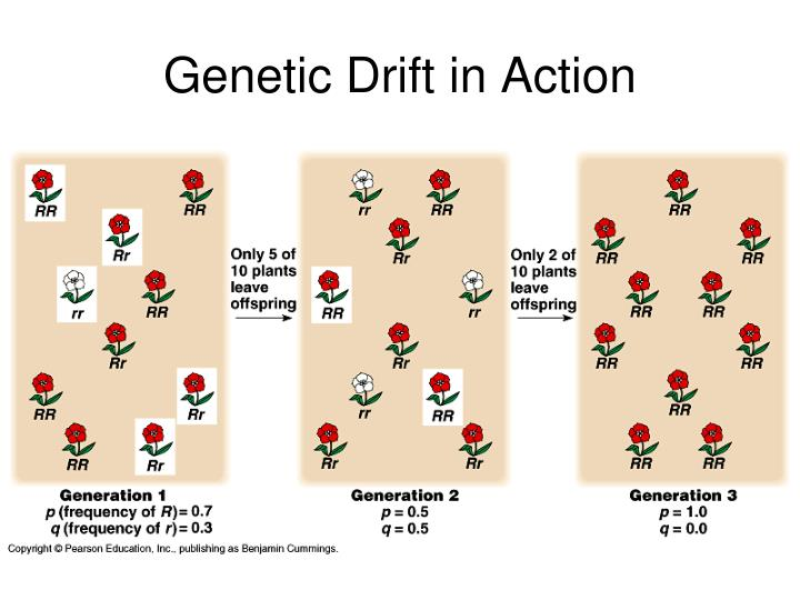 Genetic Drift in Action