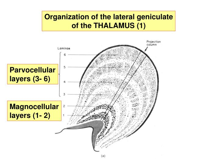 Organization of the lateral geniculate