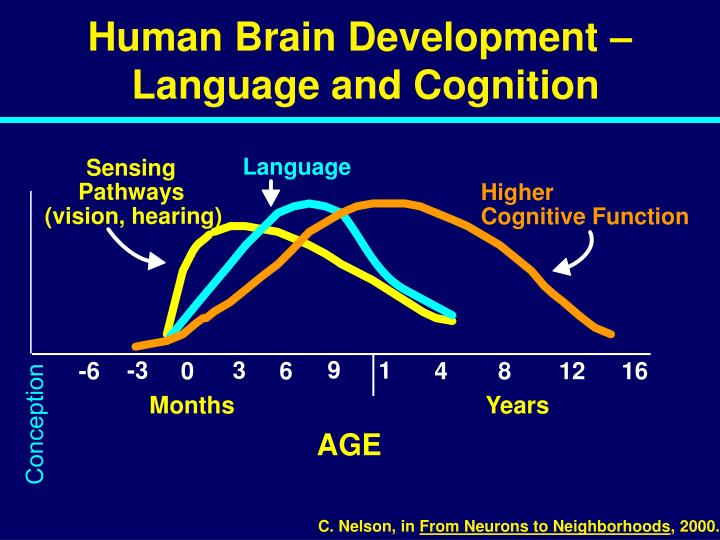 Human Brain Development –
