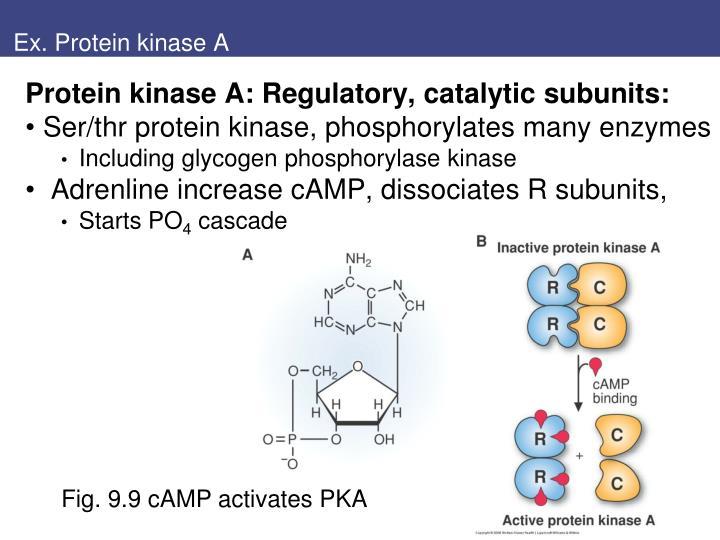 Ex. Protein kinase A