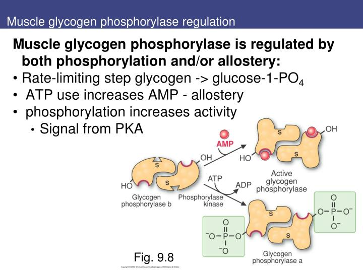 Muscle glycogen phosphorylase regulation
