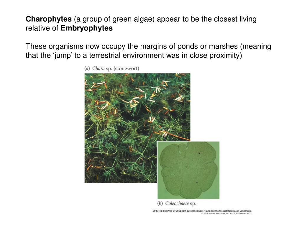 Charophytes