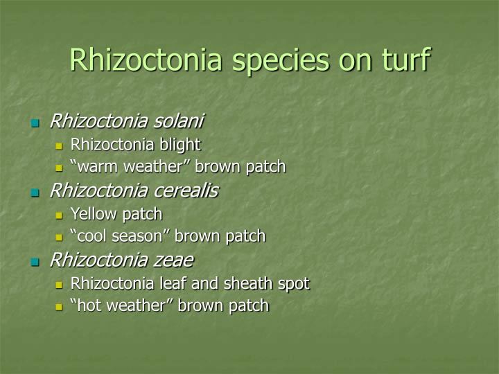 Rhizoctonia species on turf