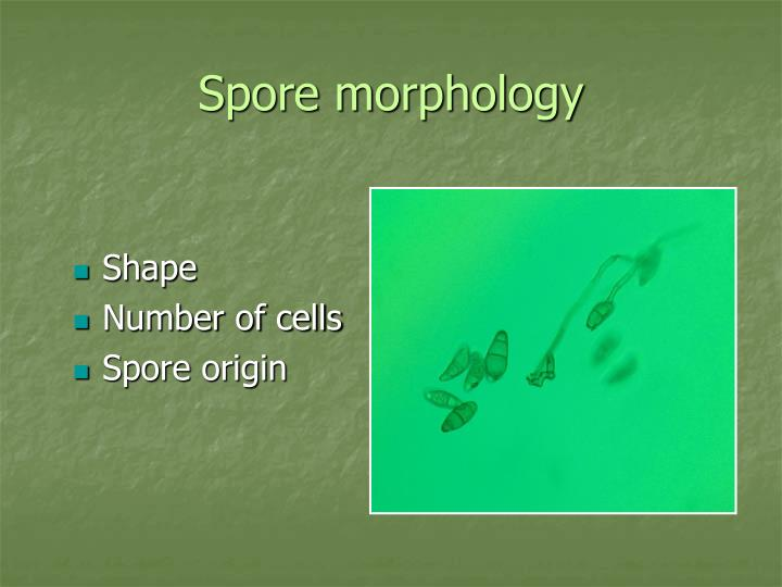 Spore morphology