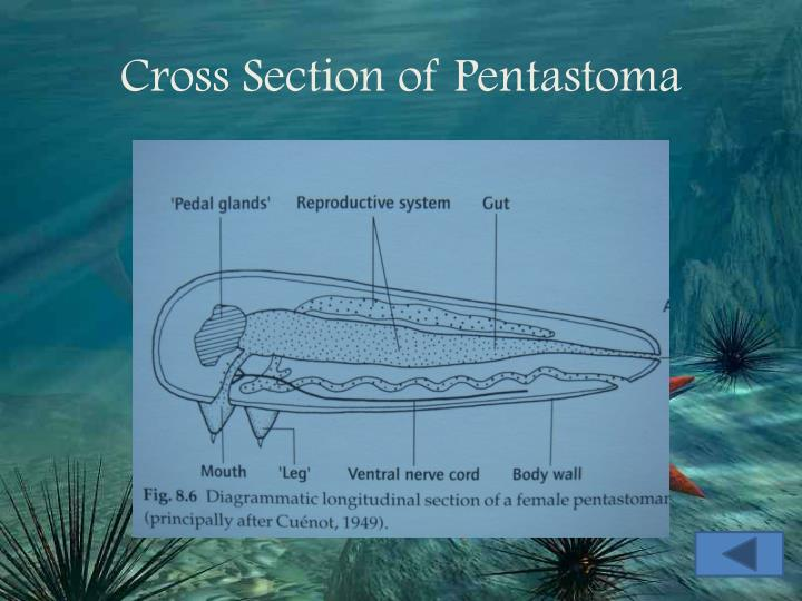 Cross Section of Pentastoma