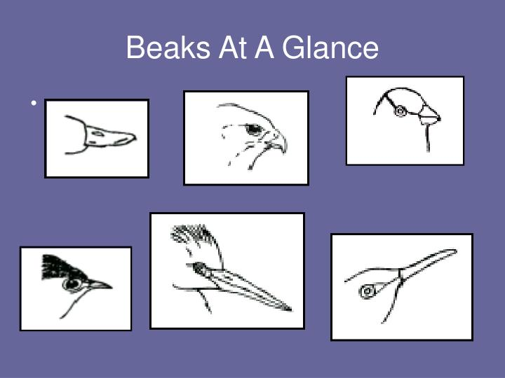 Ppt Did You Ever Wonder Why So Many Bird Beaks