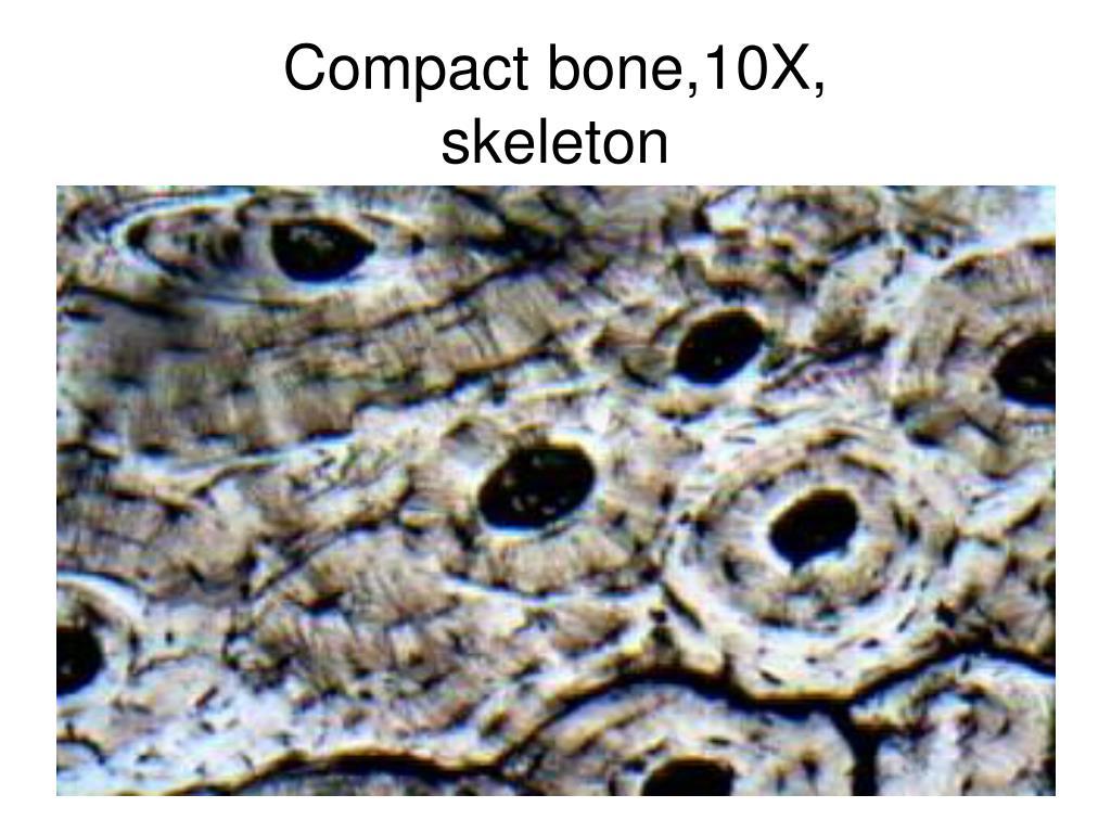 Compact bone,10X,