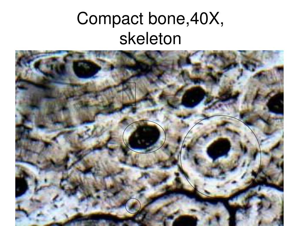 Compact bone,40X,