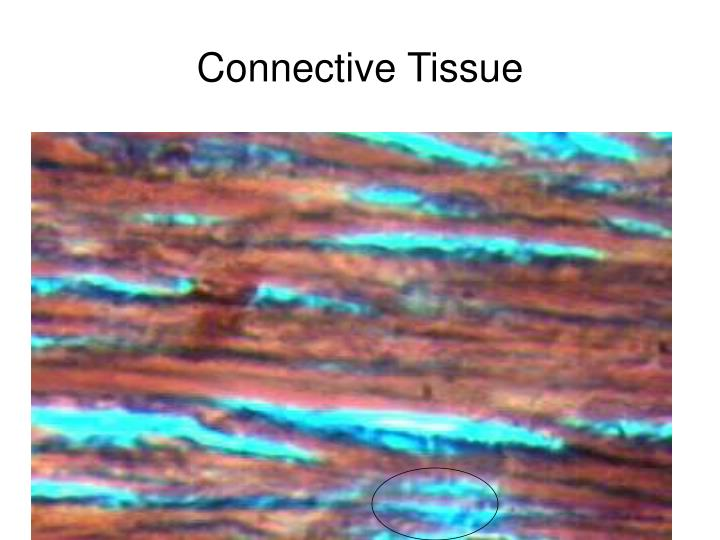 Connective tissue l.jpg