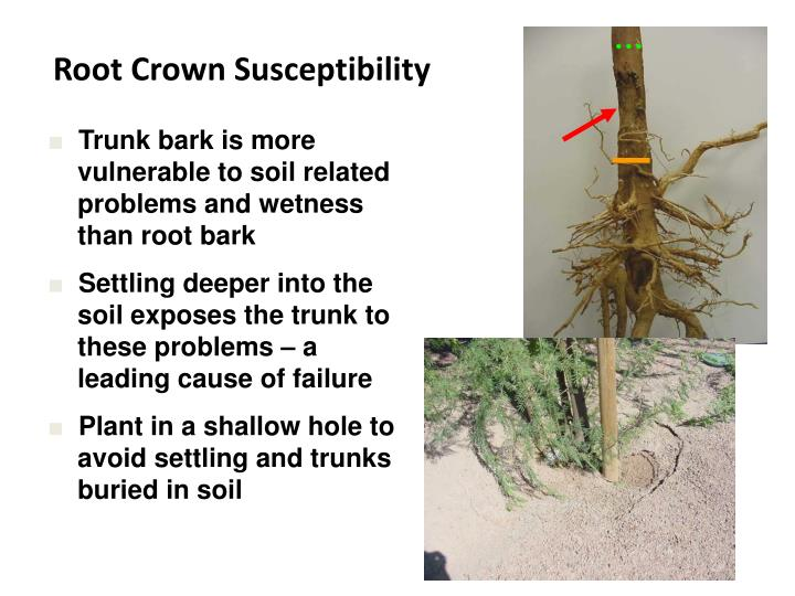 Root Crown Susceptibility