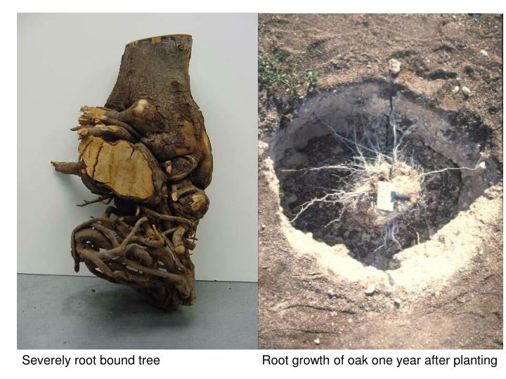 Severely root bound tree