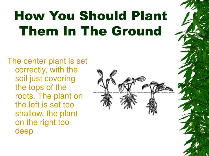 How You Should Plant Them In The Ground