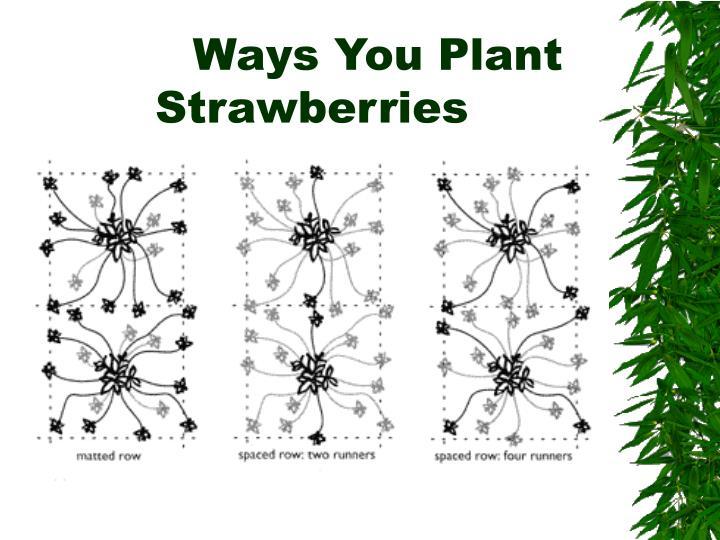 Ways You Plant Strawberries