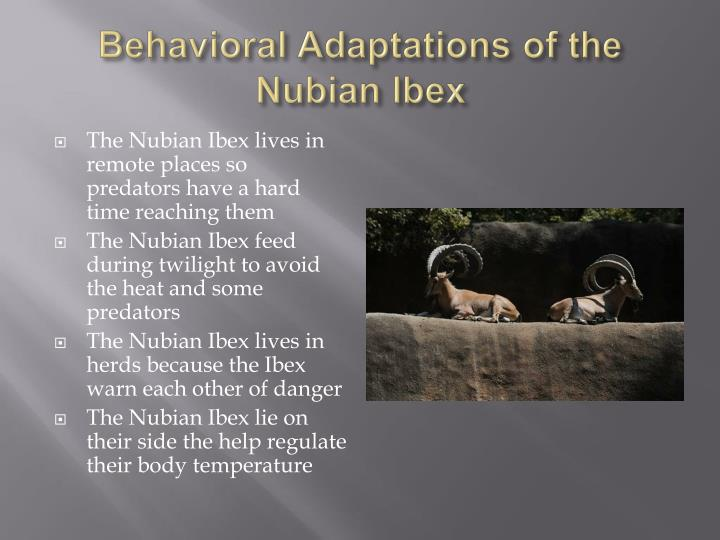 Behavioral Adaptations of the Nubian