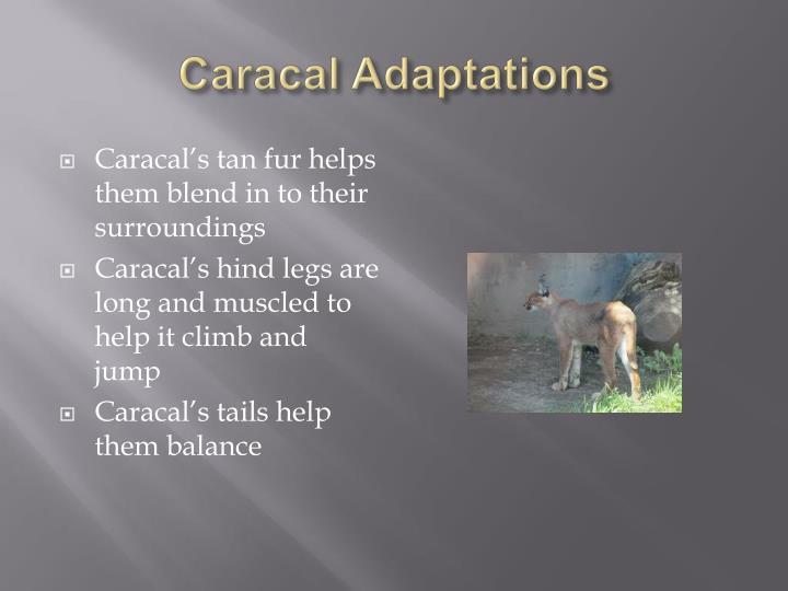 Caracal Adaptations